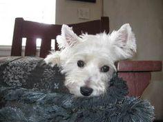 PetFinder Adoptable Pet : West Highland White Terrier Westie : WESTIE