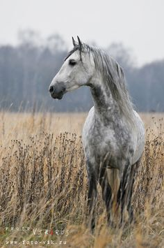 Dapple grey horse in the misty field. Orlov Trotter