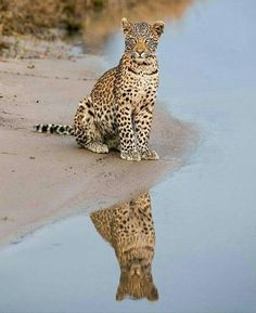 What Chicks Talk About: by Pamela Viktoria: 700 Amazing Animals & Adorable Pets Nature Animals, Animals And Pets, Baby Animals, Cute Animals, I Love Cats, Big Cats, Cats And Kittens, Jaguar, Mundo Animal