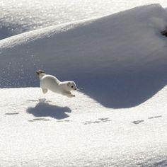 march graziano  Ermine in winter