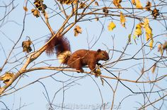 Variable Squirrel (Callosciurus finlaysonii) climbing tree branches in Cambodia - photo by Rich Wagner / Wild Nature Photos