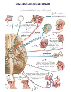 Cranial Nerves (Motor and Sensory Distribution): Schema Anatomy Nerve Anatomy, Brain Anatomy, Human Body Anatomy, Medical Anatomy, Human Anatomy And Physiology, Nursing School Notes, Ob Nursing, Nursing Schools, Medicine Notes