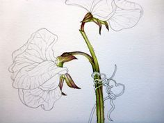 Step 5 of botanical sketchbook study of sweet pea flower