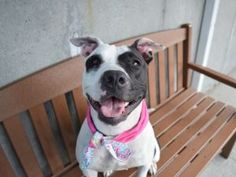 SAFE ♡ PICKLE – A1121396 SPAYED FEMALE, WHITE / BLACK, PIT BULL MIX, 1 yr STRAY – STRAYAVAI, NO HOLD Reason STRAY Intake condition UNSPECIFIE Intake Date 08/09/2017, From NY 11429, DueOut Date 08/12/2017