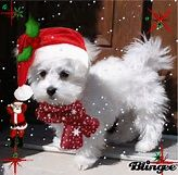 Cute Christmas Maltese Picture #103294725 | Blingee.com
