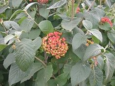 Viburnum lantana, berries edible, branches used for arrow shafts -- see Eat the Weeds: http://www.eattheweeds.com/valuable-viburnums/