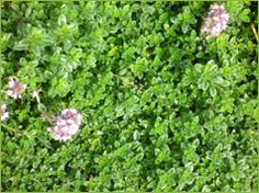 Ground cover. Mat forming. Fullsun, light shade in hot climates. Little to moderate H2O