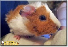 Read Munchikins's story the Guinea Pig from Melbourne, Australia and see her photos at Pet of the Day http://PetoftheDay.com/archive/2014/June/16.html .