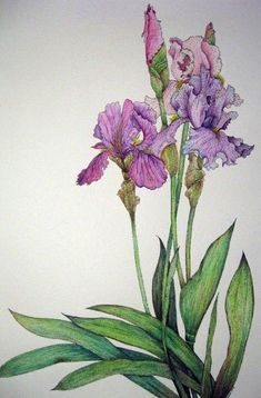 Purple Iris; asian painterly look, mid lavendar irises