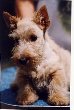 Wheaten Scottie pup