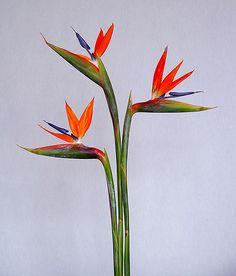 Ave del paraíso | Sus tallos florales sostienen entre 5 a 8 … | Flickr