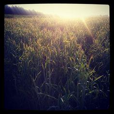 Ostatnie dłuższe bieganko przed maratonem :) #pole #zboże #crop #field #rural #wiejski #wieś #village #countryside #natural #nature #natura #sun #słońce #zachod #sunset #bieganie #running #sport