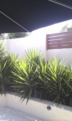 Yukkas are hardy plants and perfect for the front courtyard