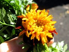 marigold insect spray