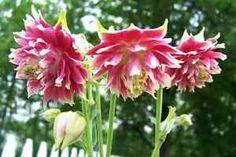 Columbine flower - How to grow & care Succulent Seeds, Rare Succulents, Planting Succulents, Planting Flowers, Cut Flowers, Pink Flowers, Columbine Flower, Pink Plant, Rare Plants