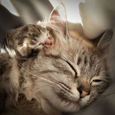 15 Pictures Of Mama Cats And Kittens For Mother's Day – CatTime - Katzenrassen Beautiful Cats Baby Animals, Funny Animals, Cute Animals, Animals Images, Animals Kissing, Animal Memes, Cute Cats And Kittens, Kittens Cutest, Beautiful Cats
