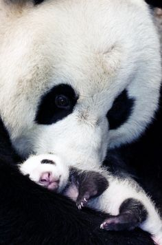 Mom and Baby Panda. The size difference is amazing. What a sweet pair, bonding and loving.