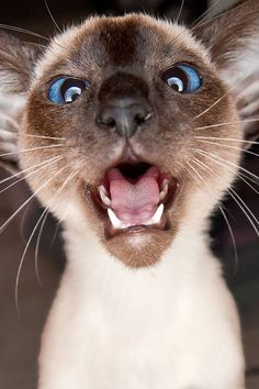 Wonderful Snap Shots siamese cats cross eyed Ideas Siamese kittens and cats sho. : Wonderful Snap Shots siamese cats cross eyed Ideas Siamese kittens and cats sho… , Siamese Cats For Sale, Cats And Kittens, Siamese Kittens, Kittens Cutest, Cute Cats, Funny Cats, Animals And Pets, Funny Animals, Cute Animals