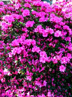 I Think These Are Those Amazing Bright Pink Bushes M
