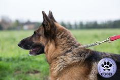 Central German Shepherd Rescue wishes Tess, a young 7 year old female German Shepherd best wishes in her adoption from CGSR. Female German Shepherd, German Shepherd Rescue, German Shepherds, United Kingdom, Fur, Friends, Amigos, England, German Shepherd Dogs