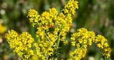 sanziene Medicinal Herbs, Natural Remedies, Nature, Paradis, Dom, Green, Plant, Naturaleza, Natural Home Remedies