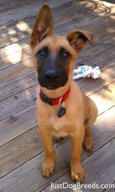 belgian malinois puppy | Misfit - Belgian Malinois - Dog Breeds....I wonder if my puppy has some of this in him?!