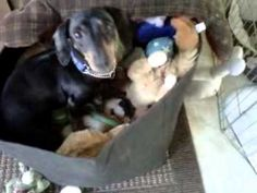Watch foster boy Bailey in his favourite spot in the house... the toy box!
