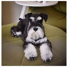 Phantom (black with white points) miniature schnauzer. Beautiful color!