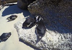 Visit Boulders Beach in Cape Town, the only place on earth where you can get up close to the endangered African Penguin - a bird that epitomises love. African Penguin, Boulder Beach, Cape Town, Bouldering, Whale, Creatures, Birds, Animals, Whales