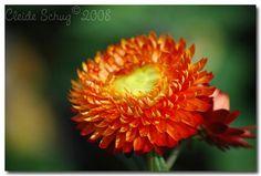 Flor-de-palha - Helichrysum bracteatum
