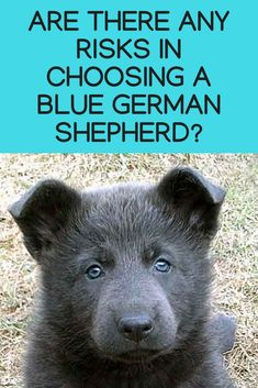 Wicked Training Your German Shepherd Dog Ideas. Mind Blowing Training Your German Shepherd Dog Ideas. Blue German Shepherd Puppies, German Shepherd For Sale, German Shepherd Pictures, German Shepherds, Puppy Classes, Dog Training Classes, Dog Activities, German Shorthaired Pointer, Working Dogs