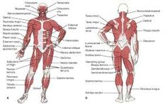 Image result for Printable image of human muscles grade9
