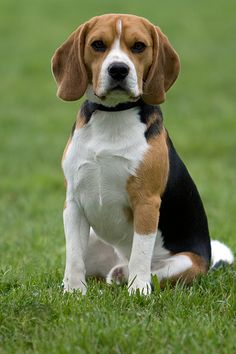 A very handsome hound with an air of confidence.