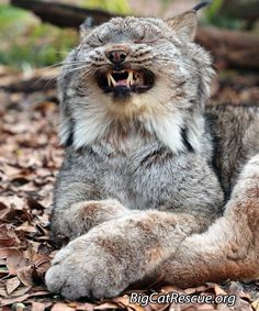 CAPTION THIS funny photo of Gilligan, Canadian Lynx.