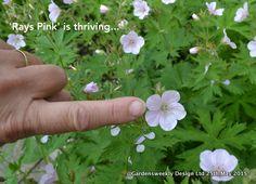 Geranium sylvaticum 'Ray's Pink...is thriving...
