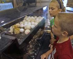 Madelynn Keiffer, 10, and her brother Kole Keiffer, 7, from Huntington, watch for hatching chicks in the Poultry and Rabbit building at the Indiana State Fair, Monday, August 13, 2012.