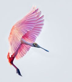 Roseate spoonbill are similar to flamingos and are actually white in color but change to pink due to consumption of crustaceans Pretty Birds, Beautiful Birds, Animals Beautiful, Pretty In Pink, Cute Animals, Animals Amazing, Simply Beautiful, Beautiful Things, Vida Animal