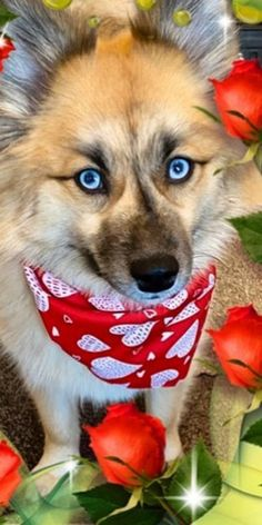 Pomsky Puppies, Dogs And Puppies, Dog Bread, Interesting History, Mixed Breed, Apartment Living, Small Dogs, Cute Dogs, Corgi