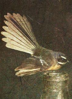 Fantail (Vintage Still Life Series) Kiwiana, Flora And Fauna, Still Life, New Zealand, Past, Wildlife, Creatures, Birds, Photography