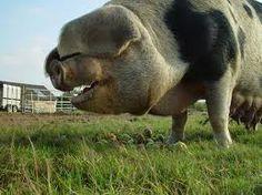 Oxford Sandy pigs