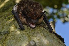 vleermuisje  fotograaf: frelis