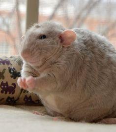 The Cutest Chubster I've Ever Seen #aww #cute #rat #cuterats #ratsofpinterest #cuddle #fluffy #animals #pets #bestfriend #ittssofluffy #boopthesnoot