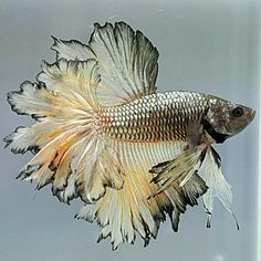 Halfmoon Betta Auctions - Sun May 24 2020 Colorful Fish, Tropical Fish, Aquariums, Beautiful Creatures, Animals Beautiful, Beautiful Fish, Pretty Fish, Betta Fish Types, Drawn Fish