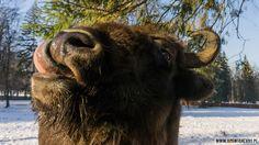 Polish bison from Bialowieski National Park - UNESCO protected area. Białowieski żubr podgryzające choinkę!