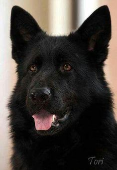 Wicked Training Your German Shepherd Dog Ideas. Mind Blowing Training Your German Shepherd Dog Ideas. Black Shepherd, Black German Shepherd Dog, German Shepherd Puppies, German Shepherds, German Shepherd Colors, Labrador Golden, Pet Dogs, Dogs And Puppies, Schaefer