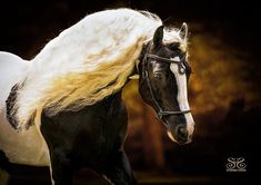 "Photography by ~ Cheri Prill . on FB ~ at ""Stunning Steeds"" Gypsy Horse, Types Of Horses, Happy Photos, Equine Photography, Horse Head, Horse Breeds, Four Legged, Beautiful Horses, Portrait"