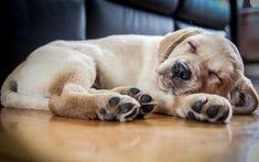 Download wallpapers golden retriever, puppy, small labrador, sleeping labrador, pets, labradors, dogs, retriever