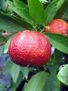Frutto di clementino rubino