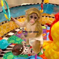 17 Best capuchin monkey images in 2012 | Monkey, Animals, Pets