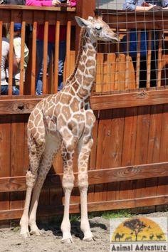 April the Giraffe's baby boy, Tajiri. He's growing so quickly!